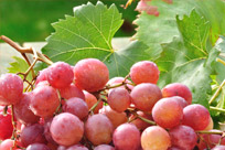 Pink Seedless Grapes